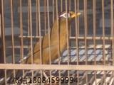北京哪里有賣 畫眉鳥