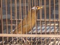 北京哪里有卖 画眉鸟