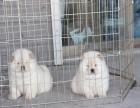 双血统松狮 专业繁殖 可上门挑选 协议质保