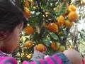 上海浦东农家乐 冬季采草莓 桔园畅吃 特色土菜