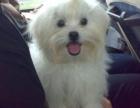 哪里有马尔济斯犬出售马尔济斯犬是什么品种 马尔济斯犬好养吗