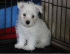 聪明可爱的西高地幼犬出售品相好纯种健康-签订协议