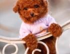 纯种玩具泰迪熊幼犬 公母幼犬都有 品质保证