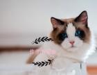曼基康矮脚猫 4只完美八字矮脚 2只全蓝长脚 接受预定!