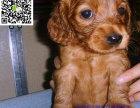 丽江哪里有卖可卡犬 丽江可卡犬多少钱 丽江可卡犬图片