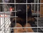 纯种德国牧羊犬 常年出售丨协议健康丨疫苗驱虫都齐全