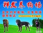 哪里的格力犬最好 灵缇犬价格 带活格力犬