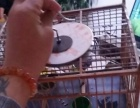 大山雀一只。