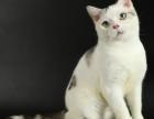 脸猫网10个月-美国短毛猫-DD出售
