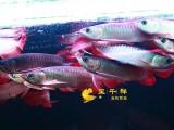 龙鱼金 龙鱼 红龙鱼 辣椒红龙 米特拉 红龙鱼 金头过背