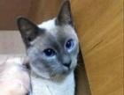 成熟健壮的暹罗猫种猫便宜转让了