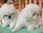 郑州哪有京巴犬卖 郑州京巴犬价格 郑州京巴犬多少钱