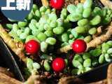 多肉花盆装饰浆果插件 微景观装饰摆件 小红豆 zakka园艺杂货