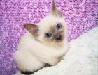 纯种暹罗猫 自家家养繁殖暹罗猫 蓝眼猫咪暹罗猫