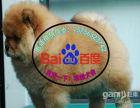 憨厚肉嘴松狮幼犬出售公母均有疫苗驱虫已做包纯包健康