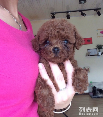 无锡出售健康泰迪犬泰迪犬多少钱无锡口碑好的宠物店