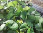 忆乡村农家乐草莓开棚啦 欢迎采摘…