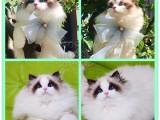 全國連鎖正規貓舍 自家專業繁殖貓咪15年 可以上門挑選愛貓