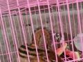 松鼠一只免费送笼子。