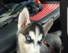 新福犬舍出售金毛,萨摩,哈士奇,比熊