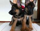 纯种德国牧羊犬幼犬黑背弓背弯腿血统纯种包健康