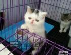 出售幼猫 加菲猫 美短 英短 蓝猫