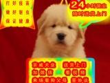 全天视频看狗 送狗上门—— 纯种大头金毛——配种借配