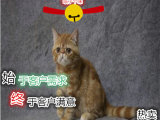 长相甜美可爱加菲猫 签协议包健康CFA猫舍专业繁殖