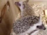 魔王松鼠金花松鼠红腹松鼠雪地松鼠黄山松鼠非洲迷你刺猬