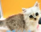 【自家繁育】金吉拉小宠猫,接受预订寻可靠父母