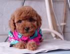 西安优良血统 纯种泰迪犬 健康 活泼 已疫苗驱虫