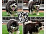 佛山阿拉斯加犬出售 佛山哪里买到健康的宠物狗 暮光狗场