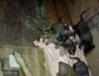 精品纯种比利时马犬幼犬出售。