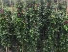 四川成都四川優質精品三角梅 庭院綠化 三角梅價格