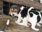 宁波市哪里卖纯种比格犬 宁波市比格猎犬多少钱 宁波市猎犬价格