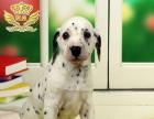 正规犬舍直销纯种阿拉斯加哈士奇比格斑点签协议包健康