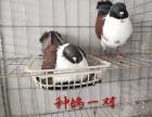 特价出售活体淑女鸽子 种鸽青年鸽 品种纯 好喂养 全国包邮