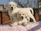 东莞横沥出售宠物狗,拉布拉多幼犬狗狗出售,包纯种,包健康