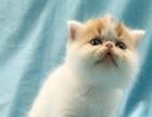 猫舍出售纯种英短 蓝猫 折耳 布偶 渐层 加菲