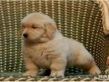 可爱金毛幼犬 保纯种 三针疫苗齐全