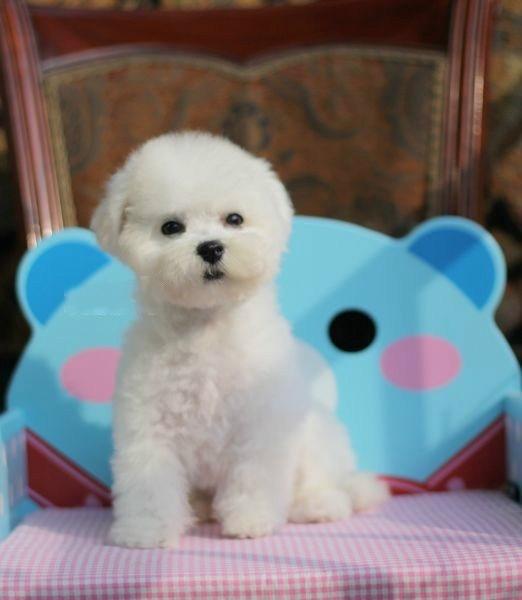 上海养殖场出售 柯基 法牛 泰迪 比熊 博美 等宠物狗保健康