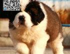 哪里出售圣伯纳犬 纯种圣伯纳犬多少钱