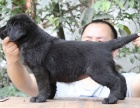自家大狗生的一窝拉布拉多可以来家里看大狗品相
