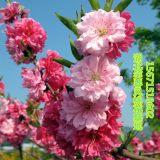 观赏桃花树苗红叶碧桃树苗树