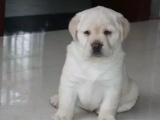 賽級純種拉布拉多幼犬 大骨量 優秀導盲犬 簽訂