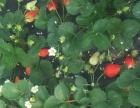 2018草莓采摘蜜糖草莓采摘园