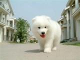 中山哪里有卖萨摩耶幼犬价格多少中山纯种萨摩耶价钱