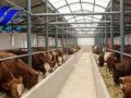 山西奶牛、肉牛养殖基地,供应北京黑白花、西门塔尔