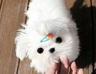 上海本地免费领养自家大狗生的马尔济斯犬免费找人领养,公母都有