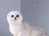 英国短毛猫英短银渐层弟弟 云系间层 大头